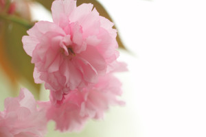 ソザイング八重桜