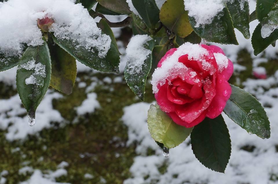 雪をかぶった山茶花